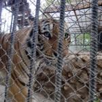 Neues Tigergehege (1)