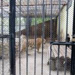 Neues Tigergehege (2)
